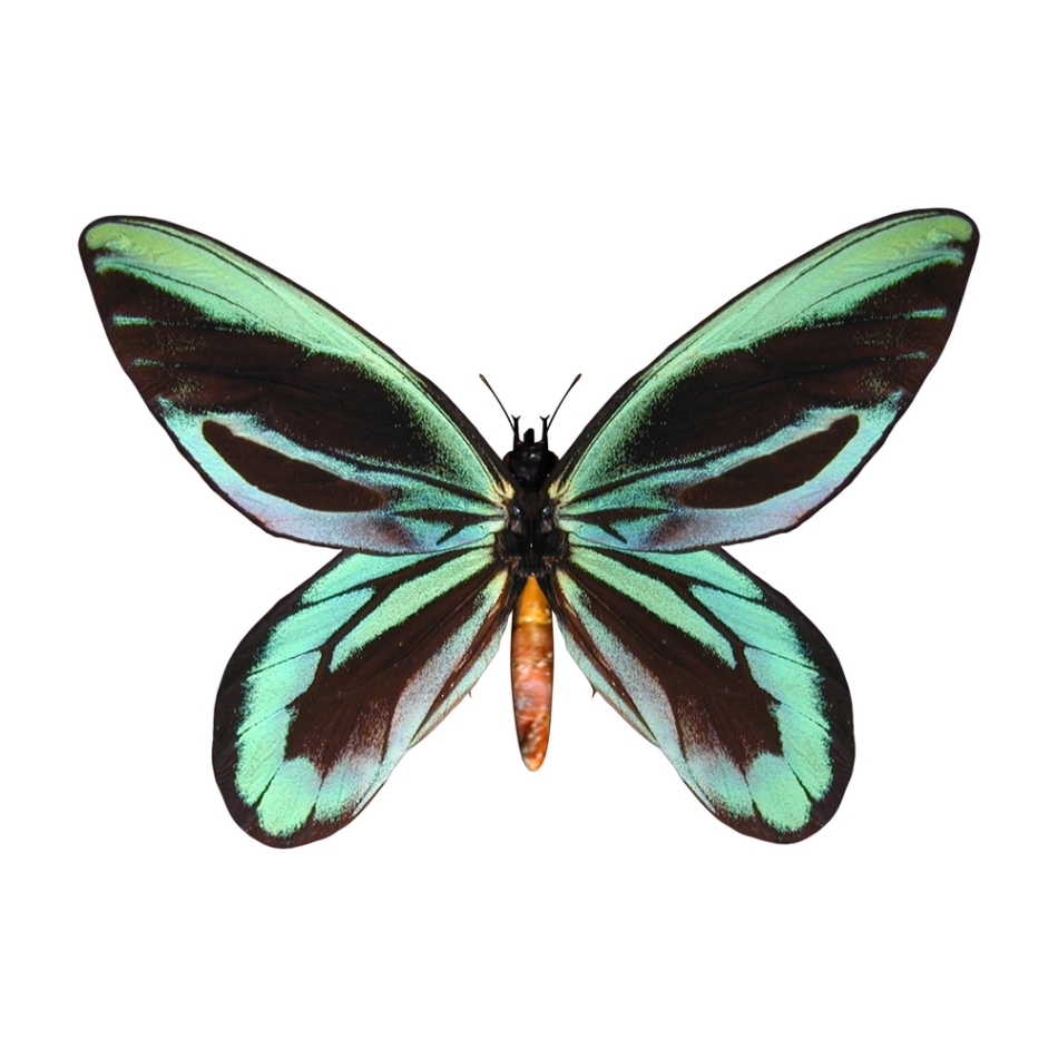 Fluturele reginei Alexandra