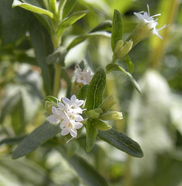 Stevia este de 300 de ori mai dulce ca zahărul, dar are un gust uşor amărui