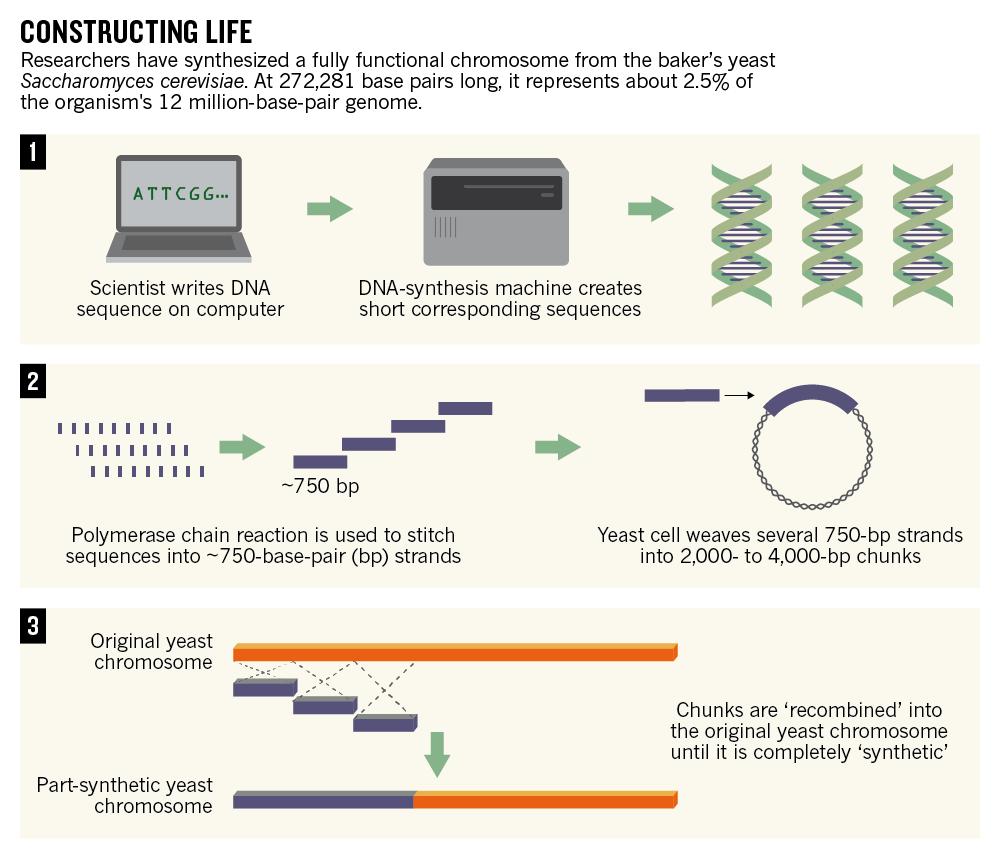 Cum a fost conceput cromozomul sintetic