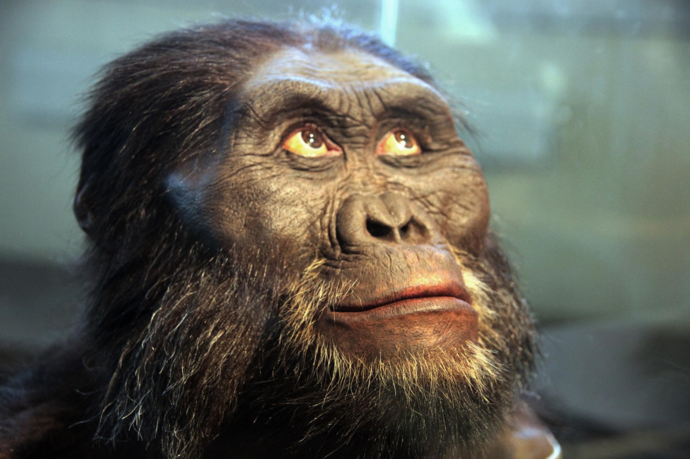 Fosilele descoperite de-a lungul timpului arată că australopitecii, predecesorii genului Homo, aveau structuri faciale surprinzător de robuste.