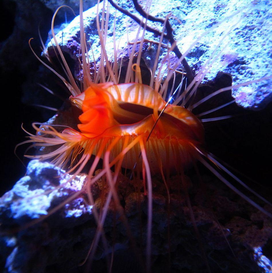 "Ctenoides ales, sau ""scoica disco"", din Oceanul Pacific."