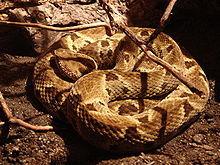 Şarpele cu cap de lance