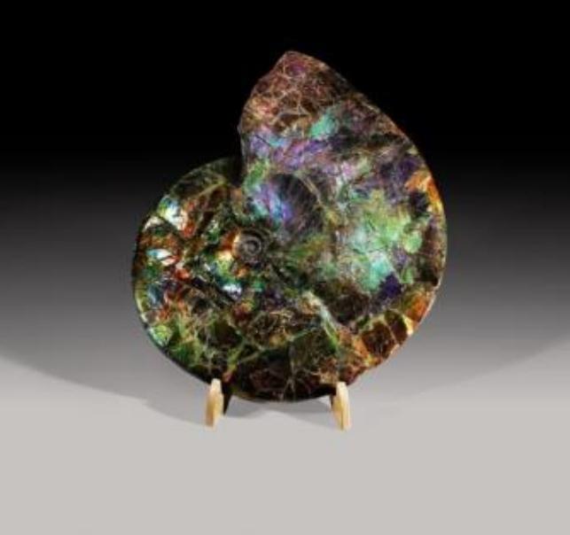 Un amonit rar (moluscă fosilă cu cochilie) care a trăit în urmă cu 135 milioane - 65 milioane de ani, al cărui corp este acoperit cu amolit, un material considerat o gemă preţioasă