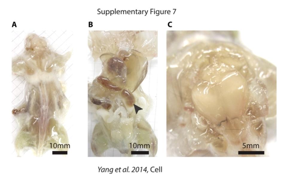Şoarecii transparenţi sunt obţinuţi printr-un tratament complex cu diferite substanţe cu acţiuni specifice asupra ţesuturilor.