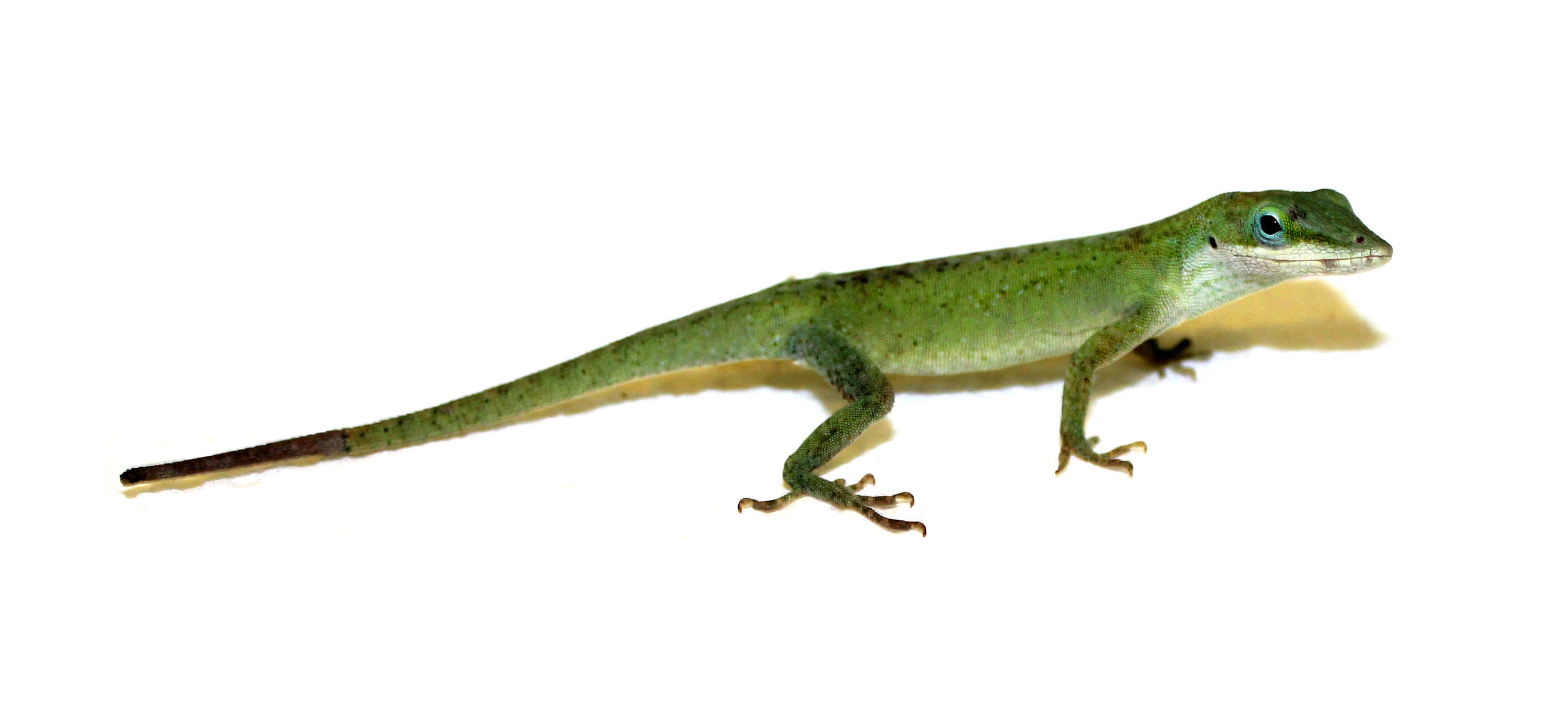O specie de şopârlă verde, Anolis carolinensis, îşi regenerează coada, după ce aceasta este desprinsă de corp în momentul în care animalul este atacat de un prădător