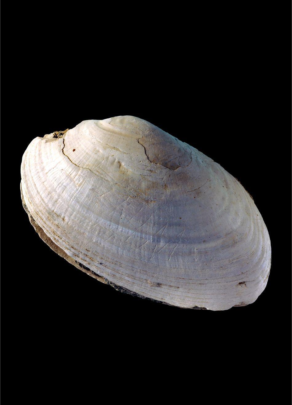 Scoica fusese îngropată în pământ în urmă cu 430.000-540.000 de ani