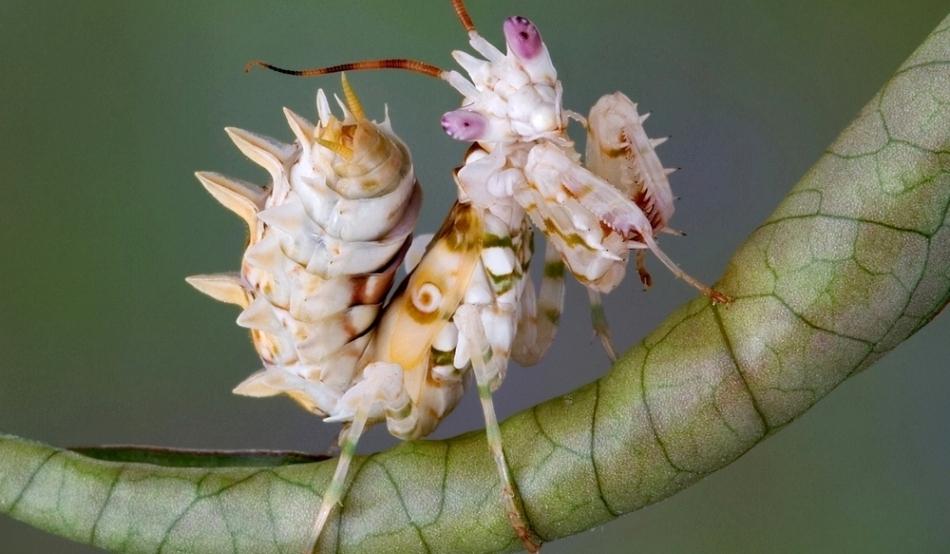 Călugariţele-flori din genul Pseudocreobotra, din Africa, se numără printre cele mai spectaculoase forme ale acestui grup.