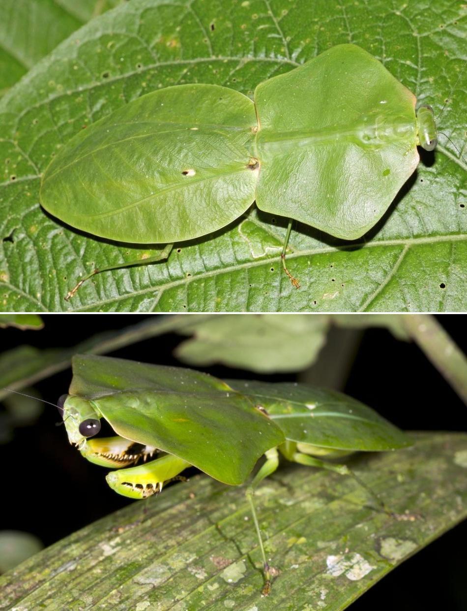 Calugăriţele-frunze din genul Choeradodis trăiesc în Asia şi America; prin formă şi culoare, îşi asigură un camuflaj perfect în frunzişul copacilor.