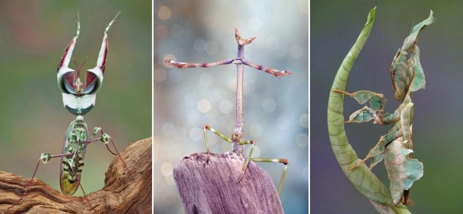 """De la stânga la dreapta: Idolomantis, Heterochaeta, Phyllocrania. Aceset """"figuri"""" sunt posturi de ameninţare, folosite de călugăriţe atunci când se simt în pericol."""