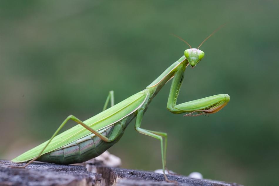 Mantis religiosa, specia de călugăriţă care trăieşte şi al noi în ţară.