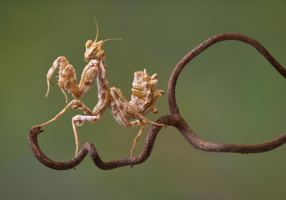 Nimfele unei specii pot fi extrem de diferite de adulţi în ceea ce priveşte înfăţişarea, în asemenea măsură încât pare că e vorba despre specii diferite de insecte. În imagine, nimfa unei călugăriţe-floare. Adulţii acestor specii sunt, de obicei, viu coloraţi.