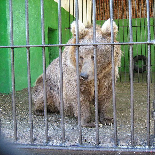 Urs himalayan la grădina zoologică Perm