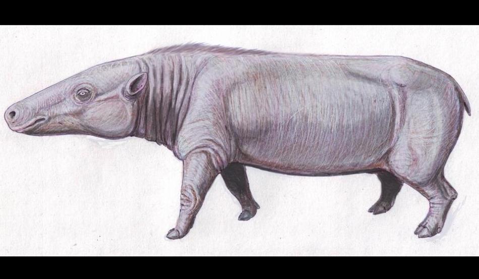 O specie de anthracother (Anthracotherium magnum), din acelaşi grup care a dat naştere hipopotamilor şi balenelor.