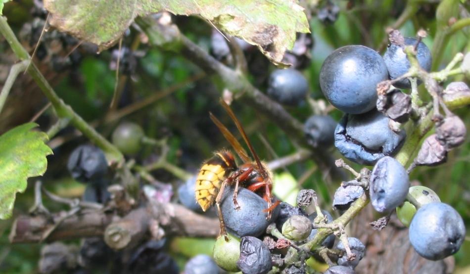 Gustul vinului nu ar mai fi acelaşi în lipsa viespilor
