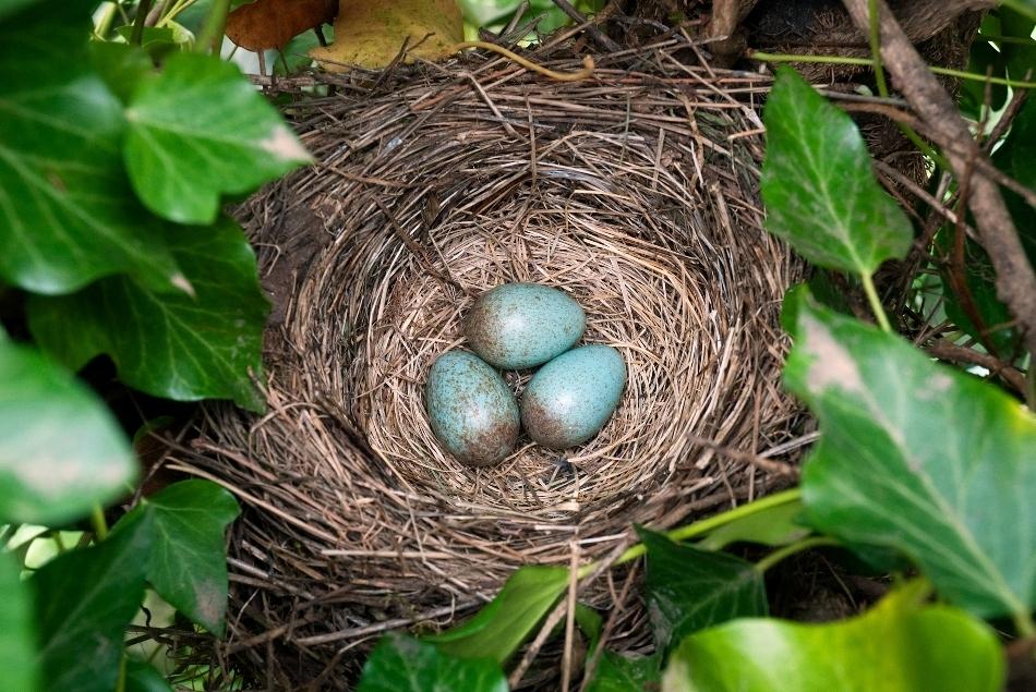 Păsările au perfecţionat oul amniotic, acesta dobândind o coajă groasă, ce apără de deshidratare embrionul.