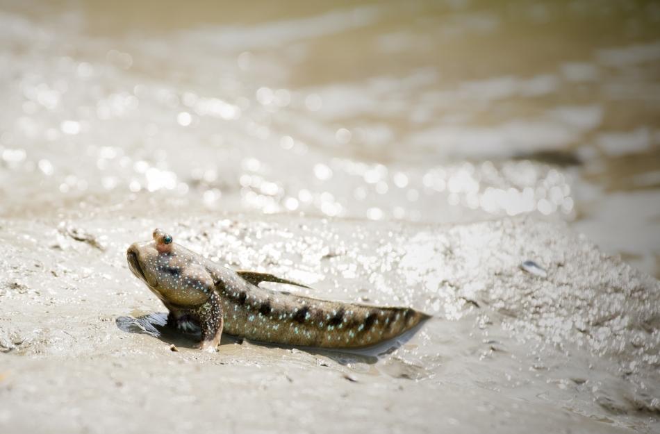 Periophtalmus, un peşte actual capabil să se deplaseze şi pe uscat, sprijinindu-se pe înotătoarele pectorale ca pe nişte cârje.
