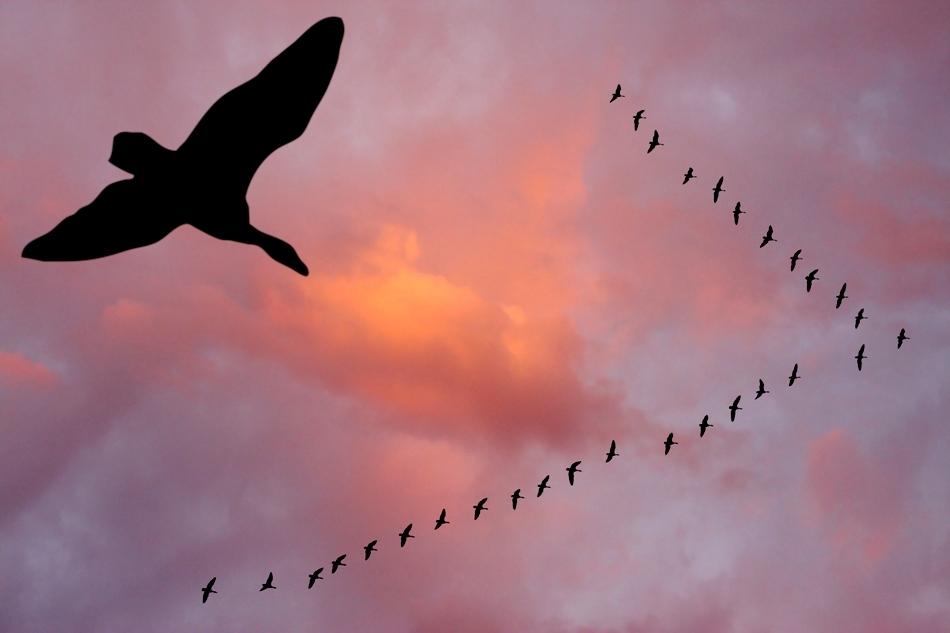 Capacitatea de a zbura s-a dezvoltat uimitor la păsări: unele specii pot întreprinde migraţii cale de mii de kilometri.