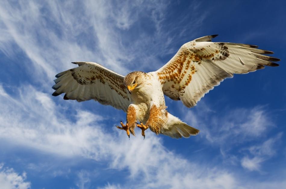 """Comportamentul păsărilor răpitoare actuale ne dă o oarecare idee despre modul în care acţionau strămoşii păsărilor în scenariul propus de ipoteza """"pouncing proavis""""."""
