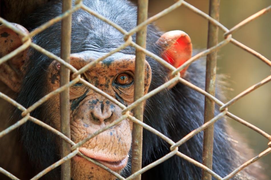 Cimpanzeu în cuşcă