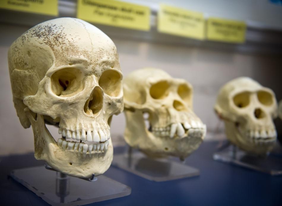 Craniu de om n prim plan, urmat de cranii de maimuţe antropoide