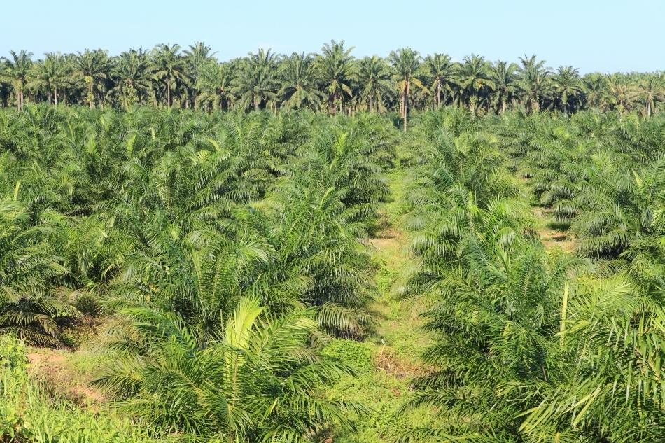 Detakliu dintr-o monocultură de palmieri de ulei