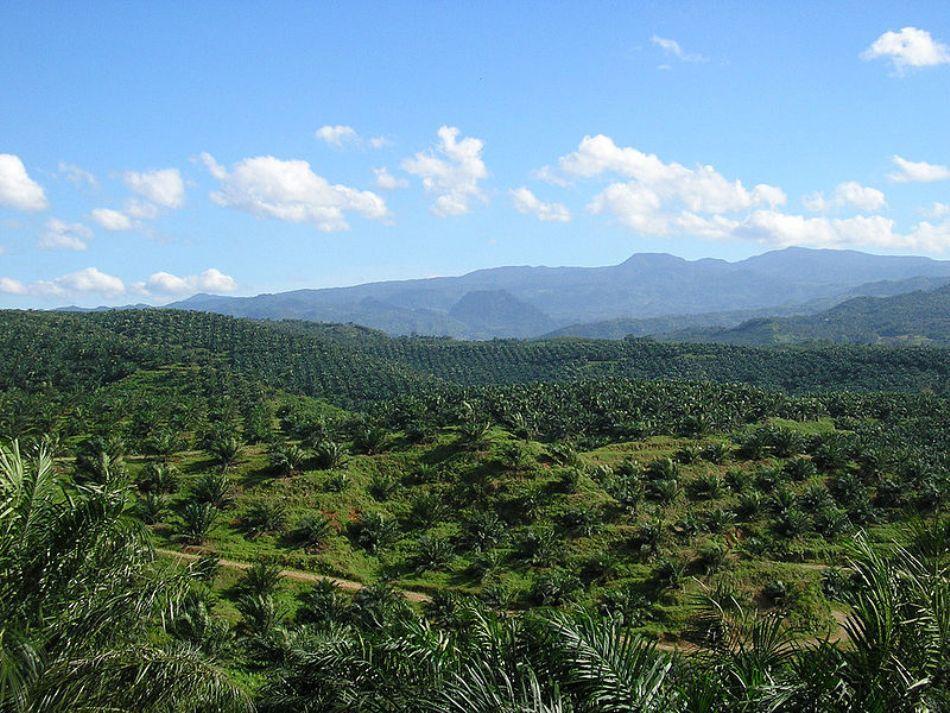 Plantaţie de palmieri de ulei în Cicudeg, Indonezia