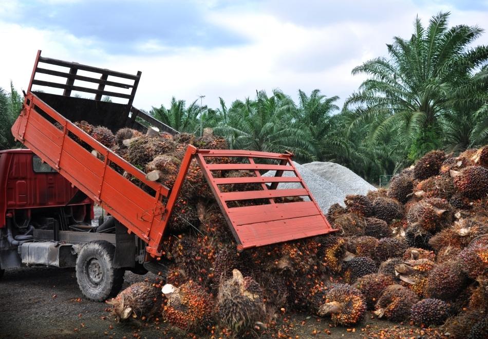 Tăierea pădurilor pentru a face loc culturilor de palmieri