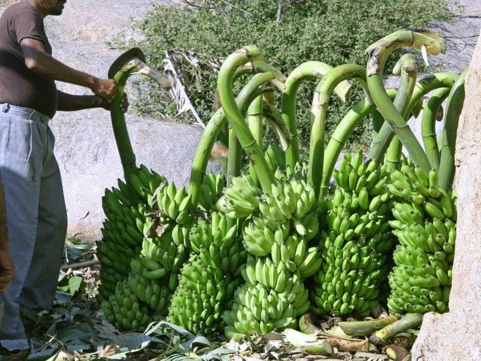 Ciorchinii de banane sunt recoltaţi adesea înainte de coacerea fructelor, acestea urmând a se coace complet în cursul transportului.