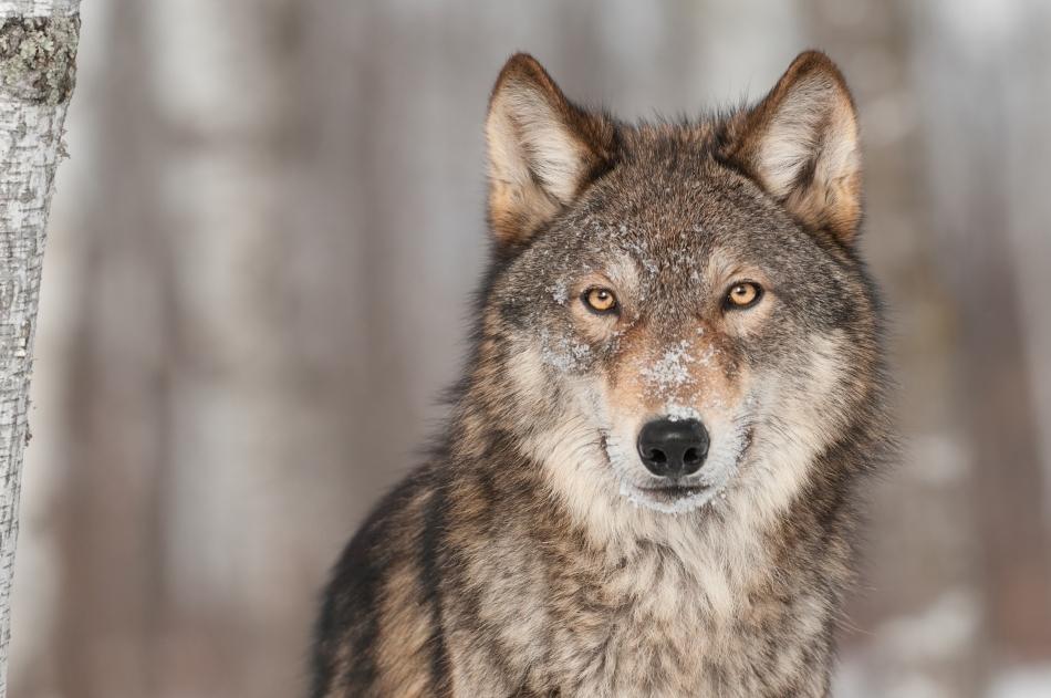 Numeroase basme şi legende se leagă de posibilitatea transformării oamenilor în animale, iar unul dintre aceste animale este adesea lupul.