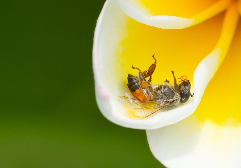 De ce mor albinele? Cercetătorii afirmă că pesticidele neonicotinoide sunt de vină