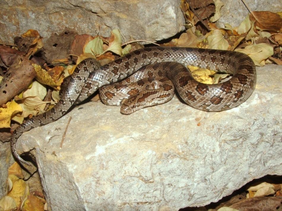 Reptilele nu hibernează precum mamiferele.