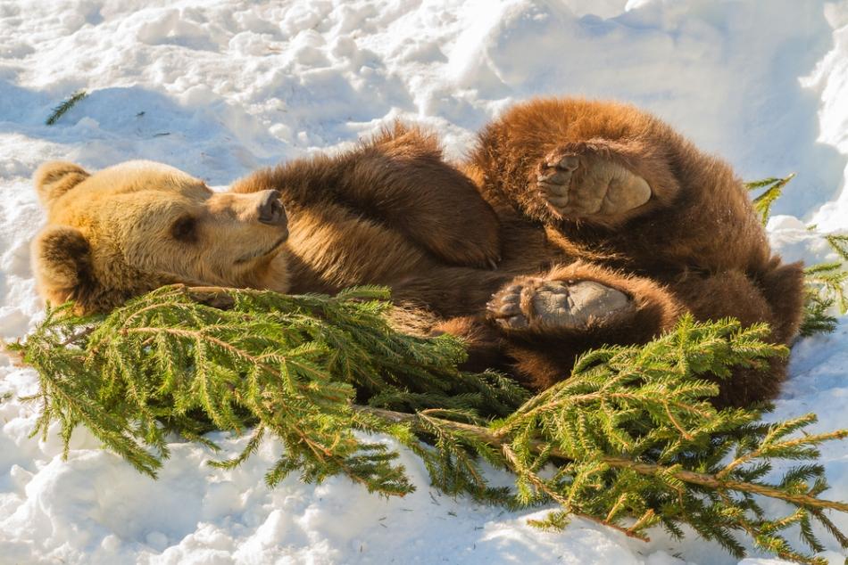 Iarna, urşii nu hibernează, ci au somnul lor de iarnă caracteristic.