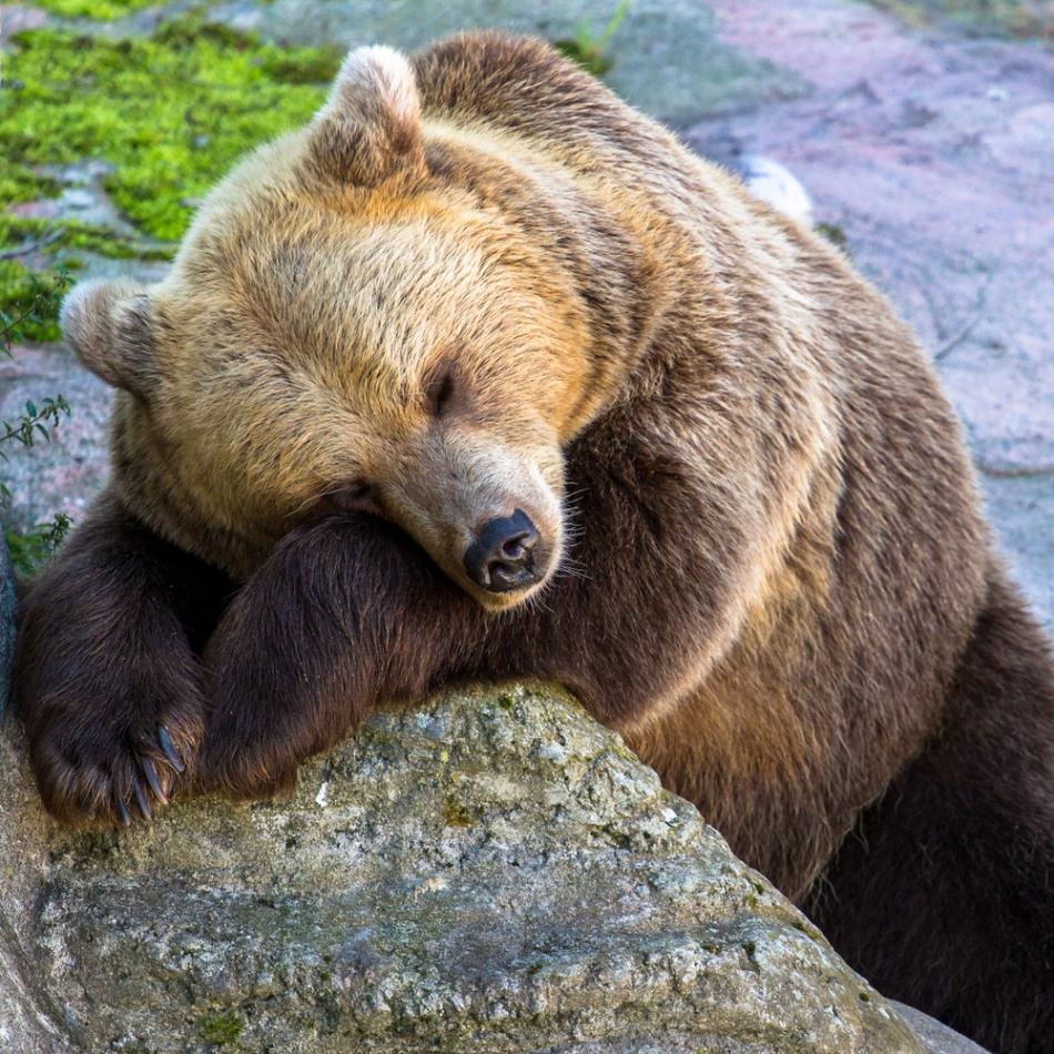Urşii ies deseori iarna din bârloguri.
