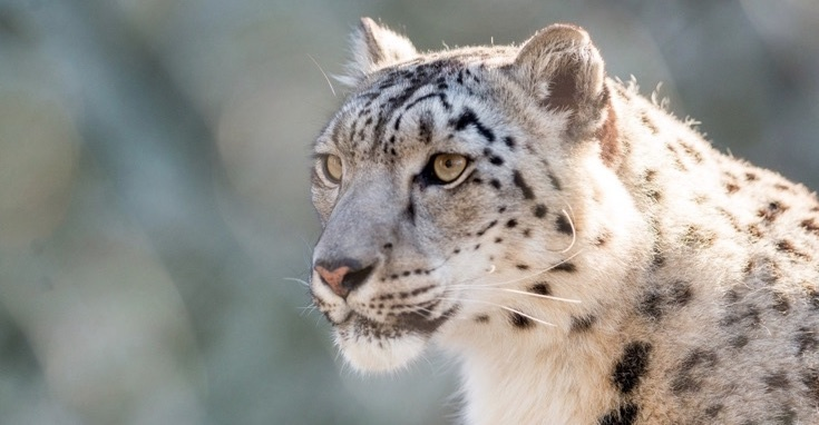 Leopardul zăpezii // Foto: Eric Kilby/Flick