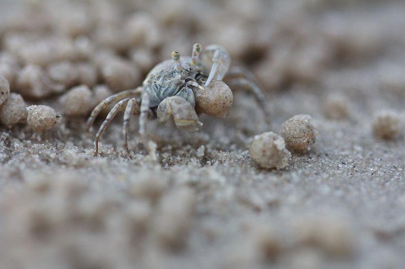 Crabul barbotor de nisip - artistul înnăscut al naturii: