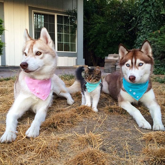 3 Câini Husky au devenit cei mai buni prieteni cu o pisica pe care au salvat-o de la moarte. FOTO+VIDEO