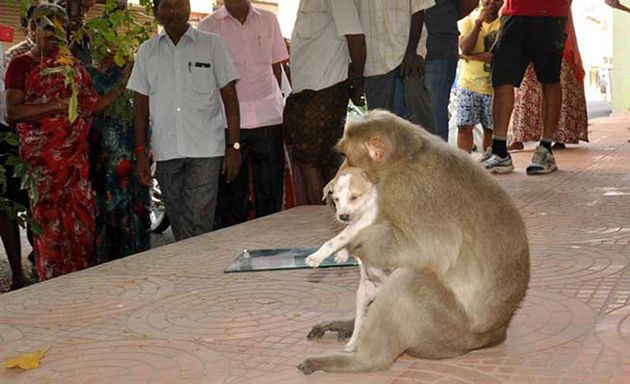O maimuţă din India a adoptat un căţel şi îl îngrijeşte de parcă ar fi puiul ei - FOTO