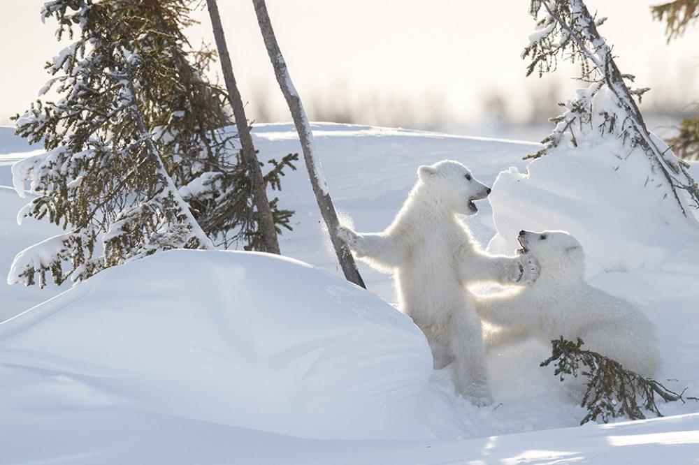 Urşii polari încep să iasă din peşteri împreună cu puii lor de patru luni