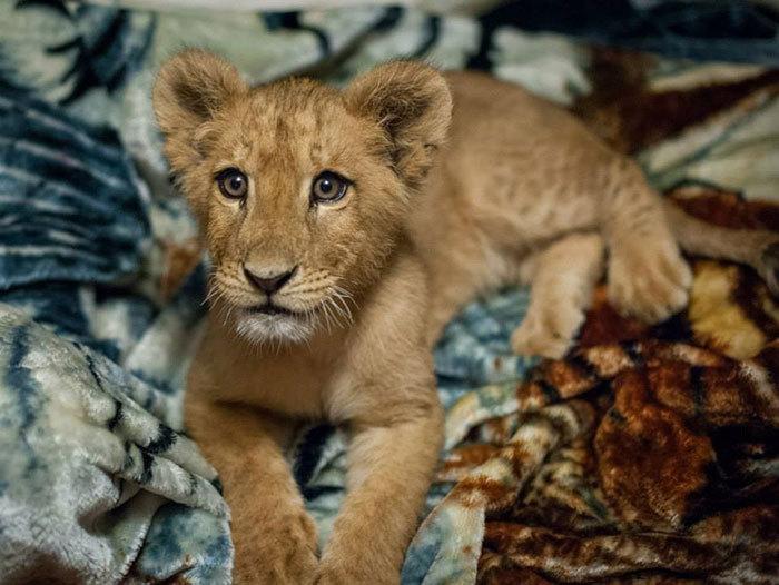 Un pui de leu salvat acum doi ani nu poate adormi fără pătură