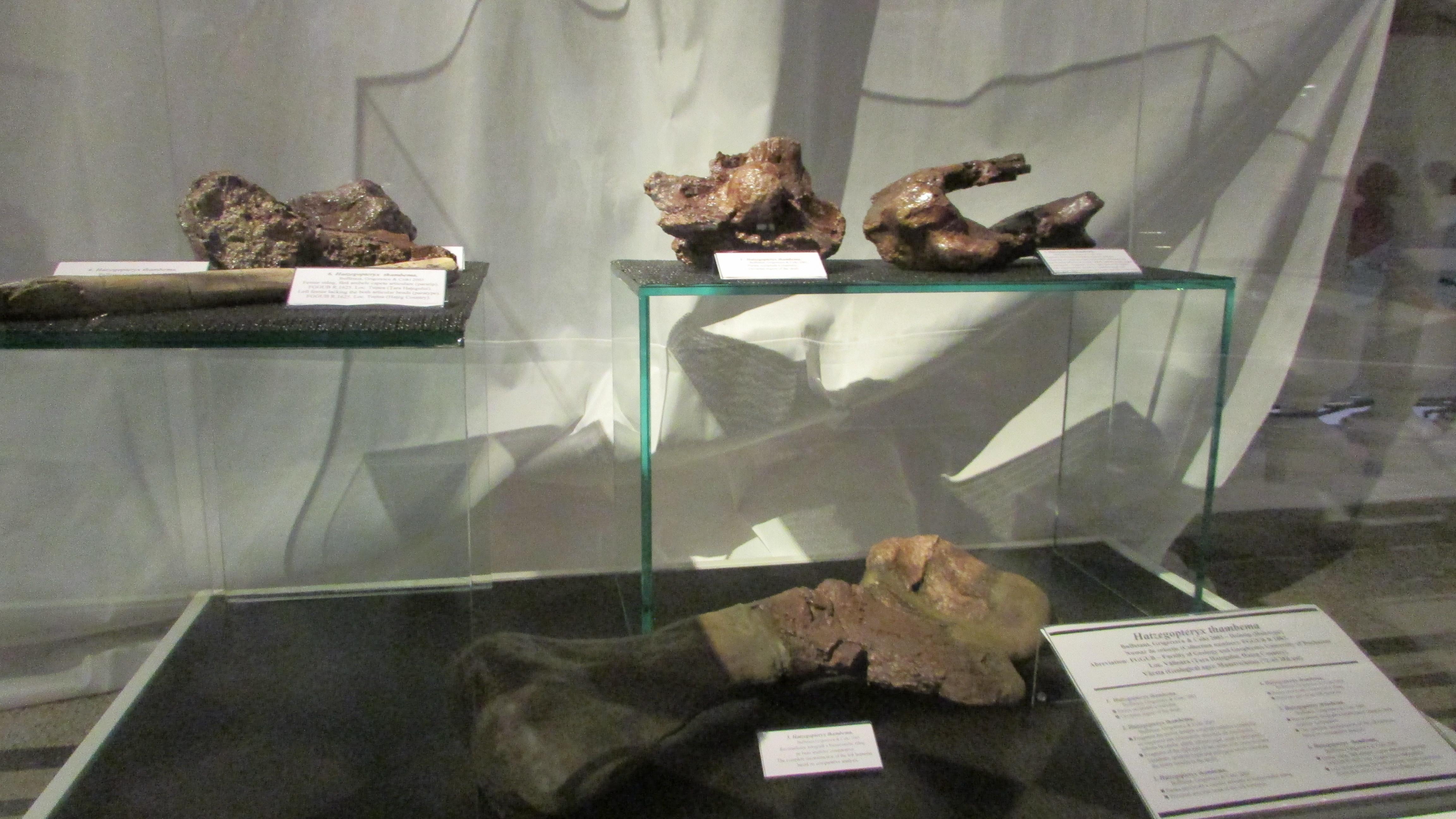 Hatzegopteryx, marele prădător din Ţara Haţegului este expus la Muzeul ,,Grigore Antipa''