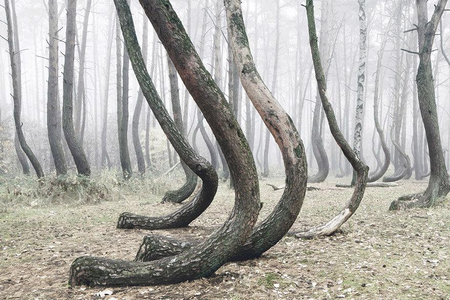 Peste 400 de arbori curbaţi din Polonia sunt încă un mister pentru cercetători