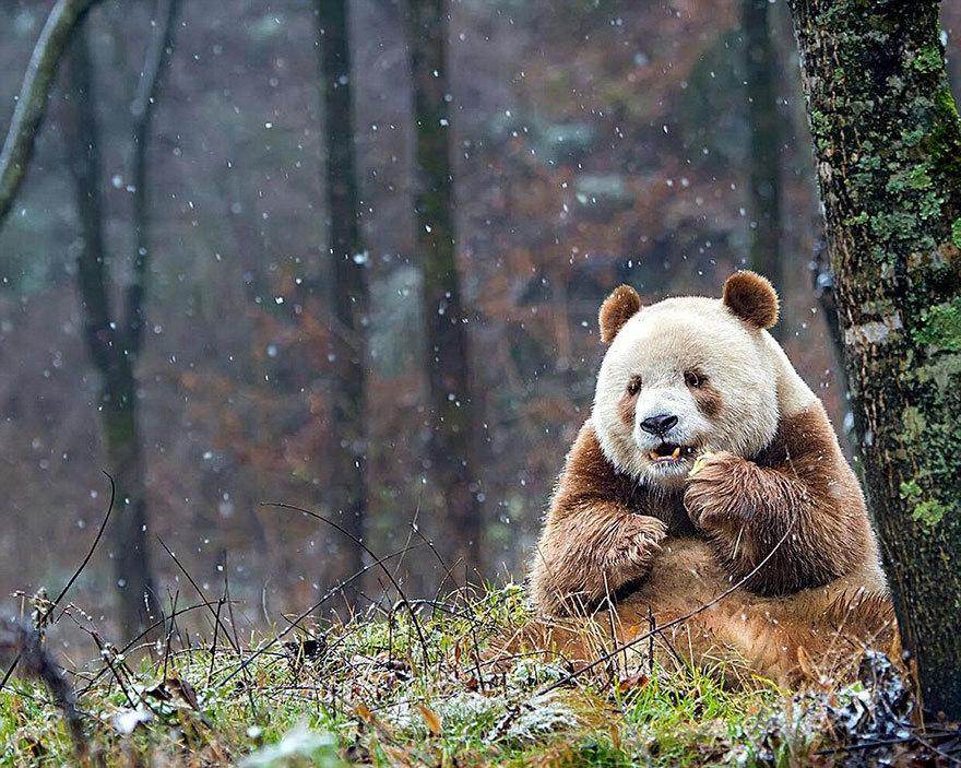 Ursul panda care a devenit o celebritate datorită culorii sale neobişnuite
