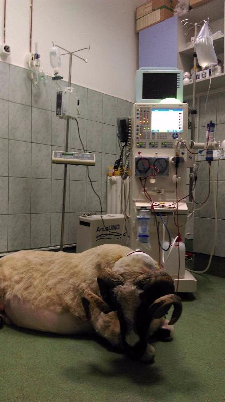 Mircea, un berbec de 120 de kilograme, prima rumegătoare căreia i s-a făcut hemodializă în România