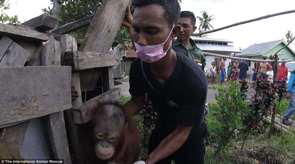 Kotap, urangutanul ţinut prizonier timp de doi ani într-o cutie de lemn