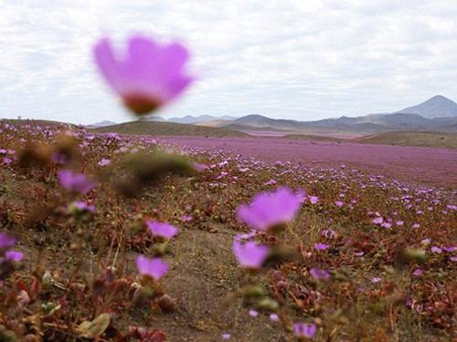 Deşertul Atacama, regiunea care înfloreşte la câţiva ani
