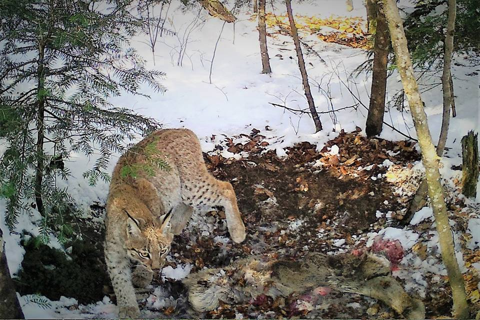 Imagini rare cu un râs observat în pădurile Avrigului