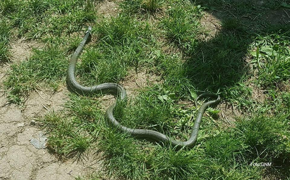 Şarpele găsit în Cişmigiu