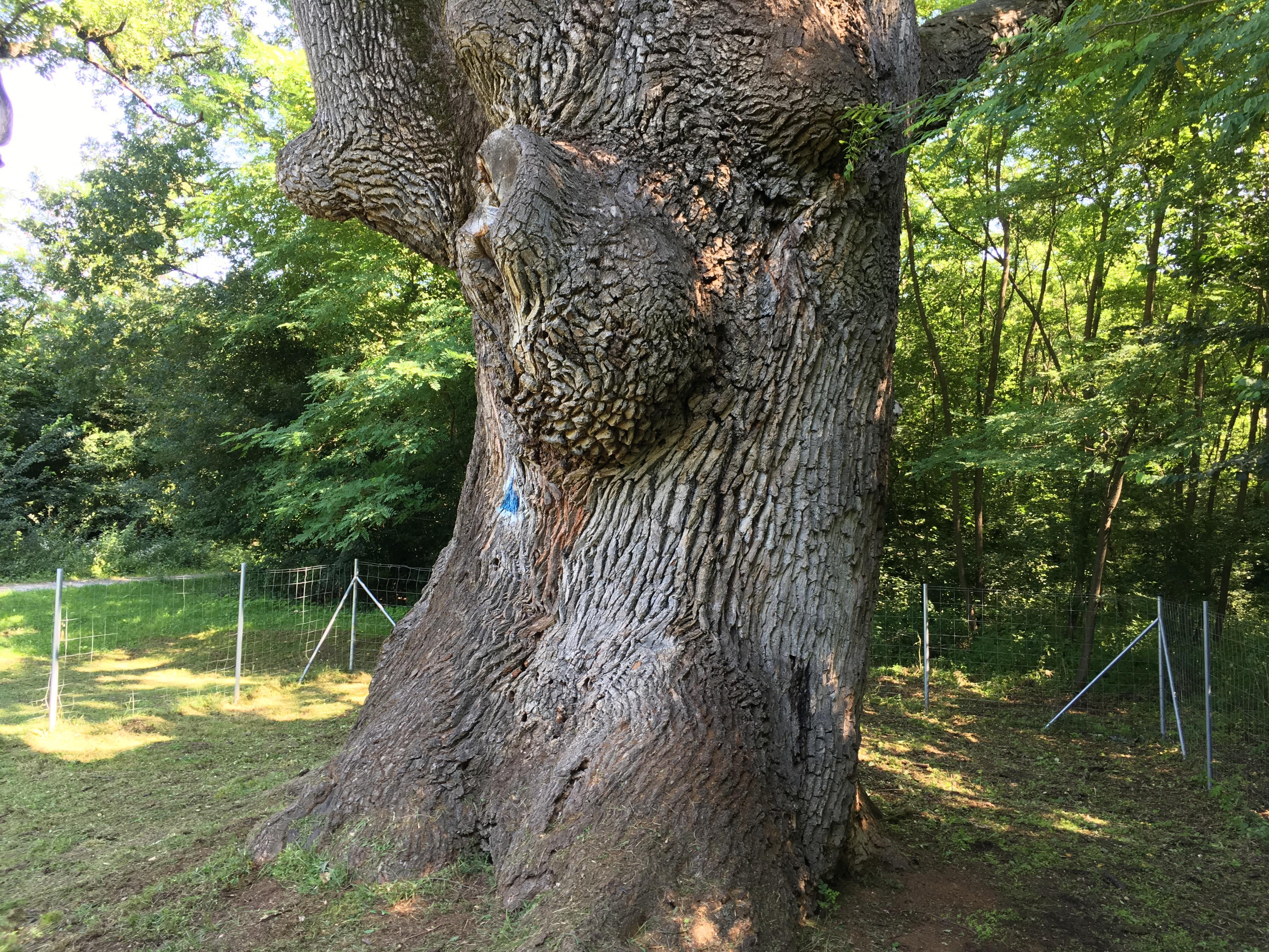 Un stejar secular din Prahova este ros de carii