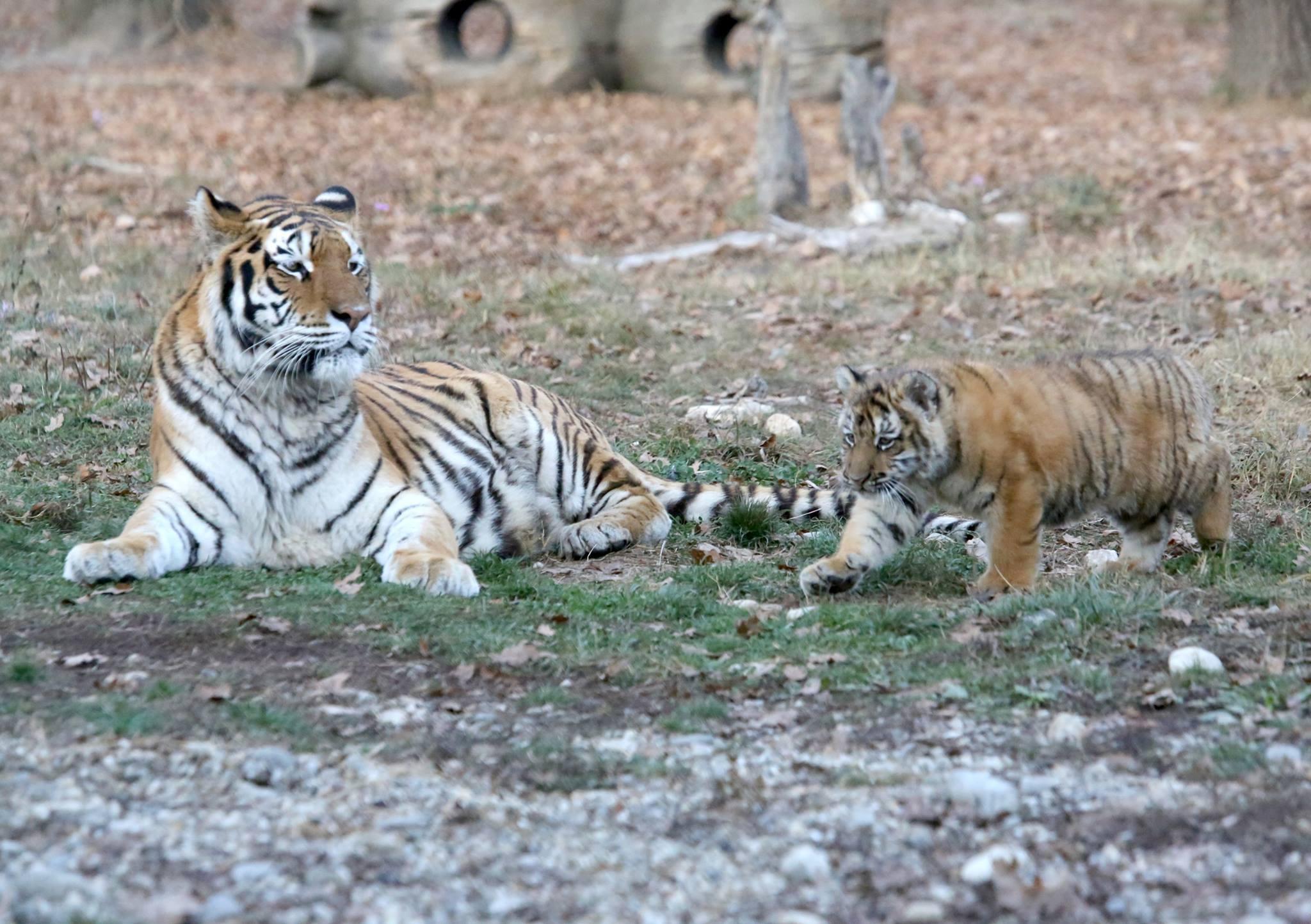 Puiul de tigru născut prematur la Grădina Zoologică din Piteşti