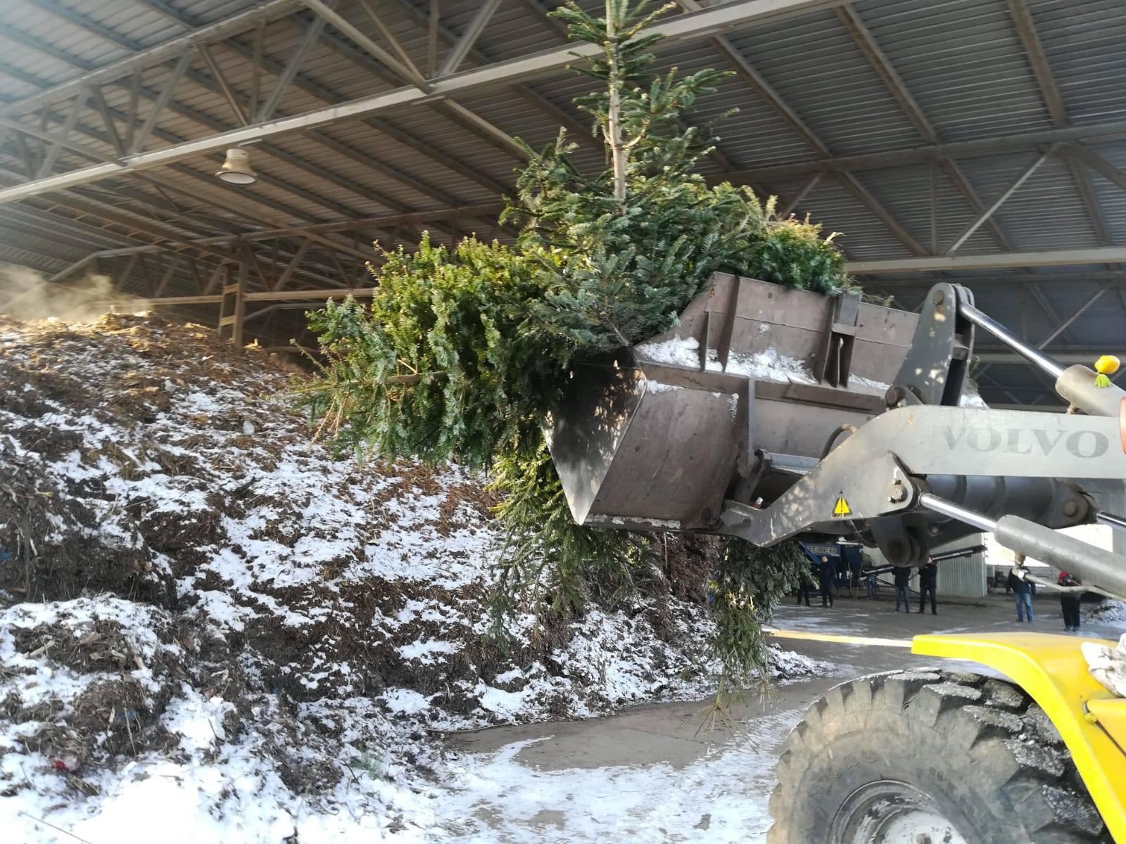 Brazi de Crăciun, reciclaţi pentru îngrăşământ